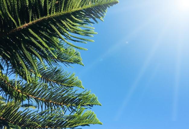 Jedlinowy drzewo z niebieskim niebem