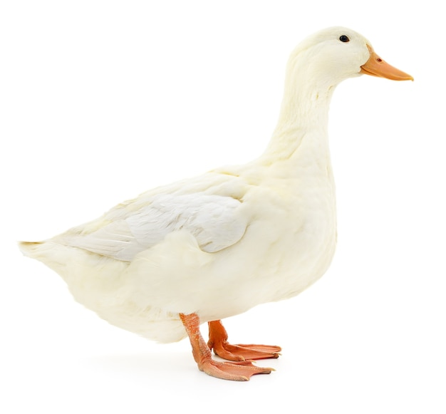 Jedna biała kaczka na białym tle.