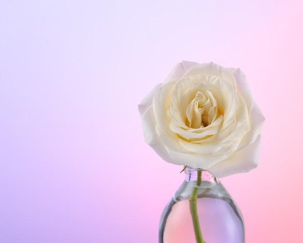 Jedna biała róża w butelce na różowym tle