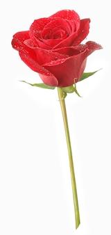 Jedna cięta czerwona róża z kroplami wody na białym tle na białej powierzchni