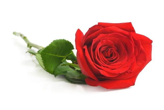 Jedna czerwona róża, na białym tle