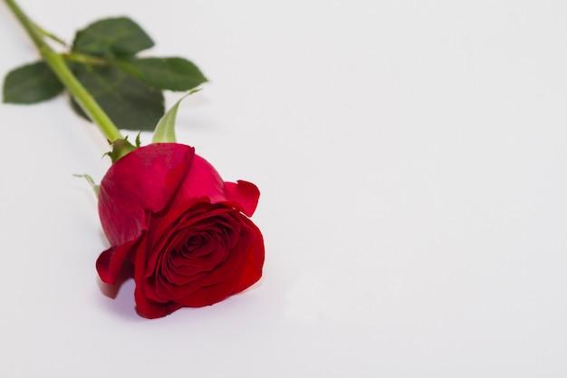 Jedna czerwona róża na białym tle