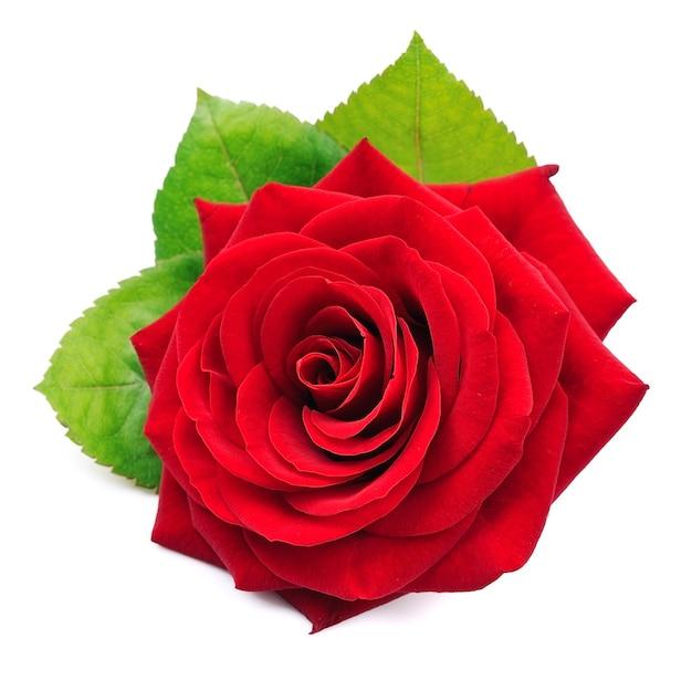 Jedna czerwona róża z liśćmi na białym tle