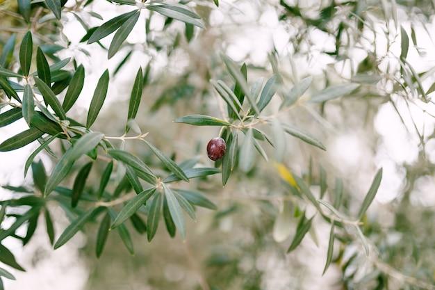 Jedna dojrzała oliwka wśród listowia na gałęziach drzewa