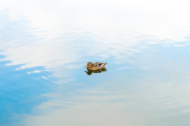 Jedna dzika kaczka w niebieskim jeziorze pośrodku z delikatnymi falami wokół niej
