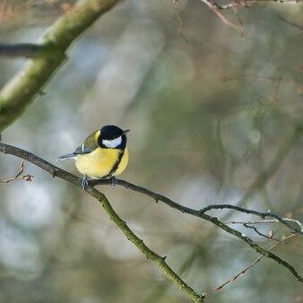Jedna głodna bogatka w sikorę zimową na drzewie w zimny i słoneczny zimowy dzień