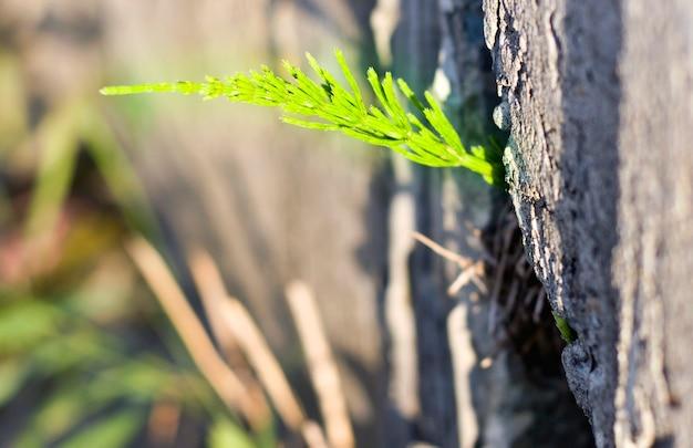 Jedna jasnozielona roślina rosnąca w szczelinie