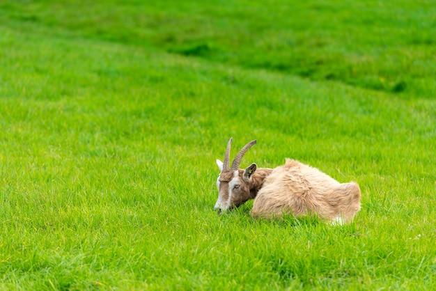 Jedna koza broun jedząca zieloną trawę na farmie