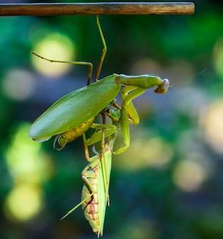 Jedna modliszka trzyma wiszącego innego owada z gałęzi