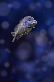 Jedna niebieska ryba akwariowa delfinów pływa w wodzie.