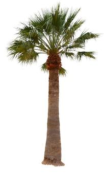 Jedna palma z zielonymi liśćmi na białym tle