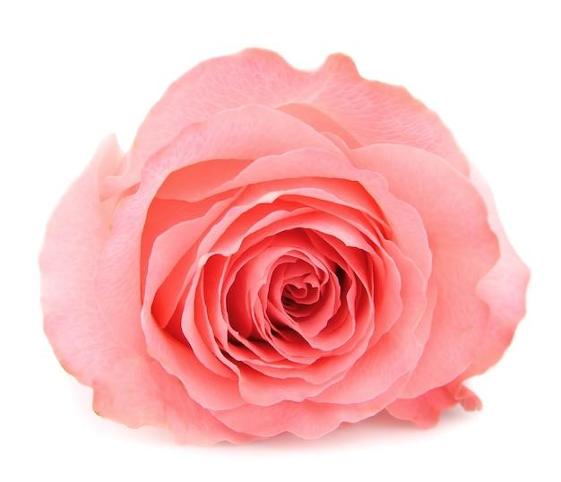 Jedna piękna różowa róża