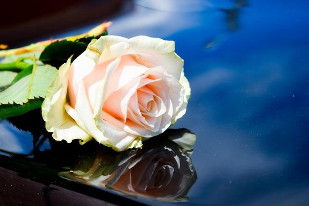 Jedna róża na czarnym samochodzie. kremowa delikatna róża. piękne kwiaty na drogim samochodzie. prezenty dla kobiet