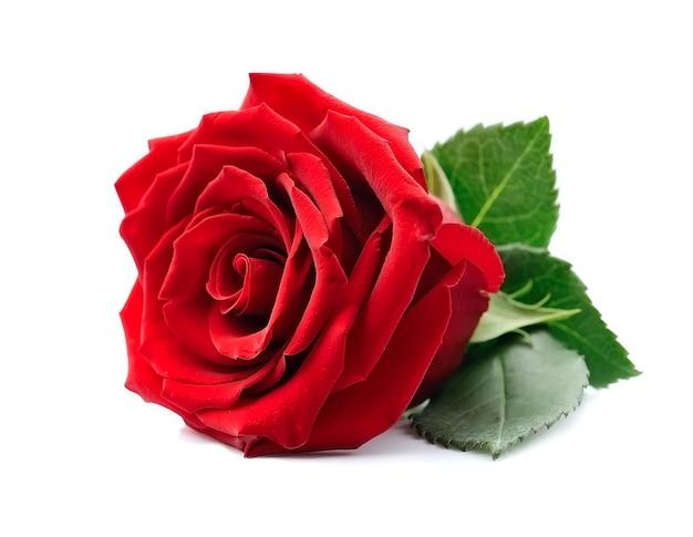 Jedna róża z liśćmi na białym tle.