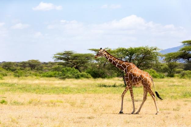 Jedna żyrafa spaceruje po sawannie między roślinami