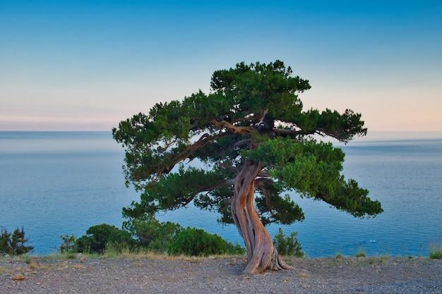 Jedno drzewo jałowca na wybrzeżu morza czarnego, krym.
