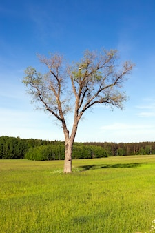 Jedno drzewo liściaste bez liści, rosnące wiosną na polach uprawnych. krajobraz z niebieskim niebem