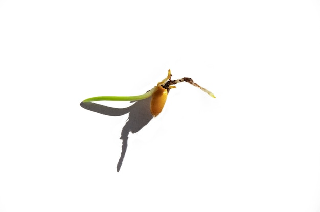 Jedno porośnięte ziarno pszenicy na białej ścianie kiełkowanie roślin przed posadzeniem w ziemi mikro-zielenie