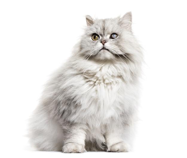 Jednooki ślepy kot perski, na białym tle