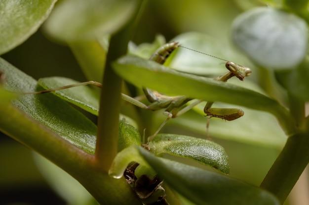Jednorożec mantis nymph z rodzaju stagmatoptera
