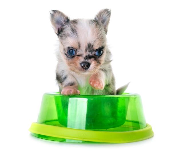 Jedzenie chihuahua szczeniaka