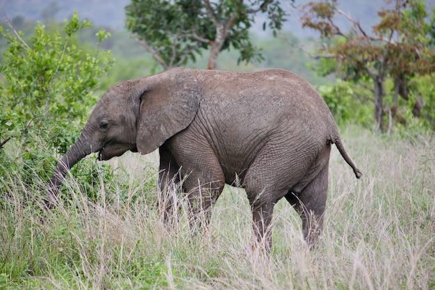 Jedzenie słoniątka