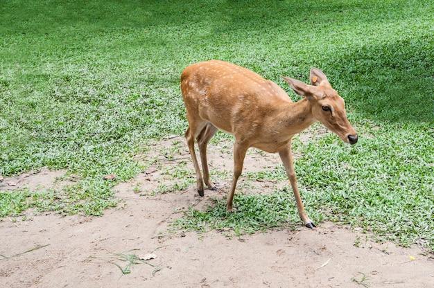 Jeleń buck z jelenia na wolności