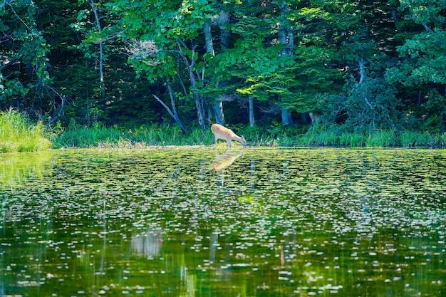 Jeleń, który wygląda na mały po drugiej stronie jeziora