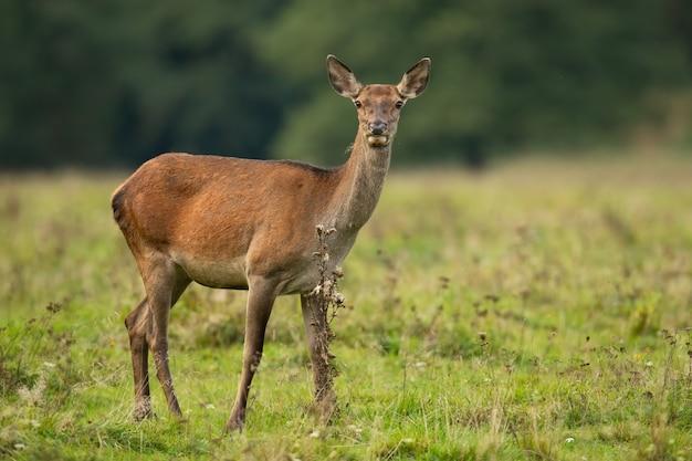 Jeleń łania stojący na łące w jesiennej naturze.