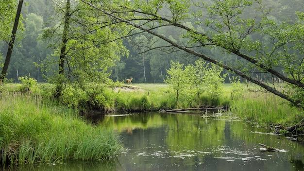 Jeleń na polu nad zatoką jeziora w lesie