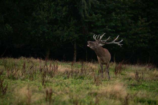 Jeleń na zielonym tle podczas rykowiska jeleni w naturalnym środowisku