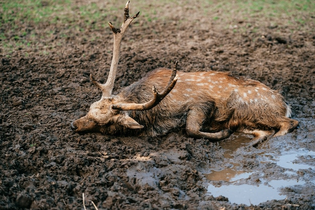 Jeleń odpoczywa i śpi w błocie. ekspresyjny portret martwego dzikiego zwierzęcia leżącego w ziemi i kałuży.