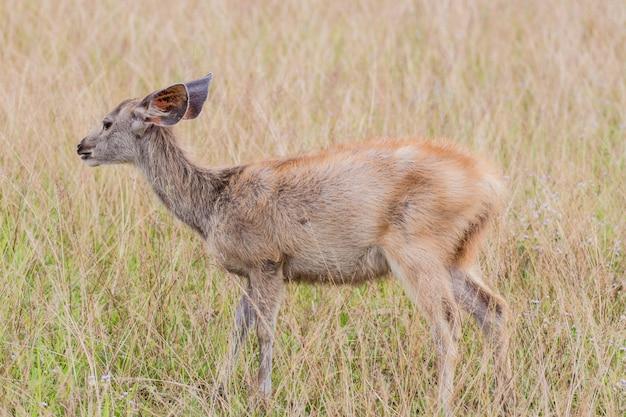 Jeleń płowy stojący w wysokiej trawie.