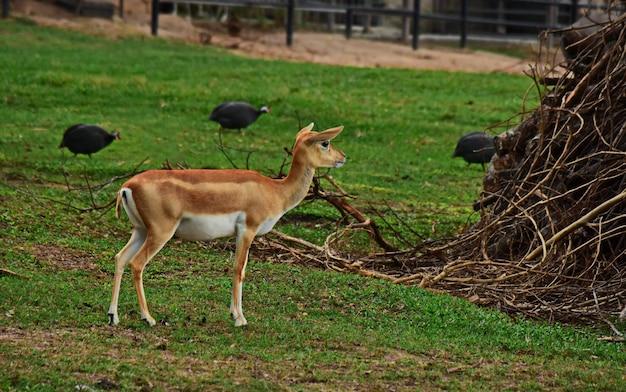 Jeleń stoi na trawniku