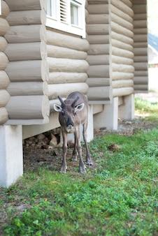 Jeleń stojący w pobliżu domu z bali na ziemi