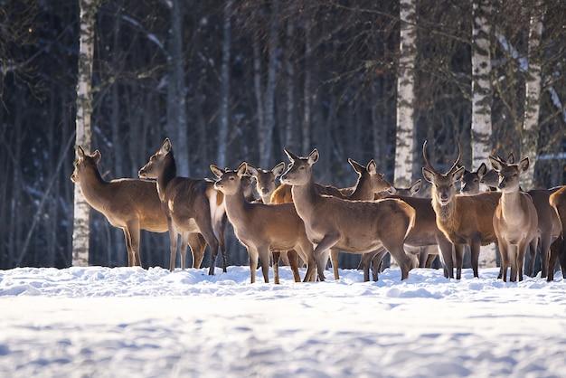 Jeleń szlachetny w leśnym parku narodowym w mroźny zimowy dzień