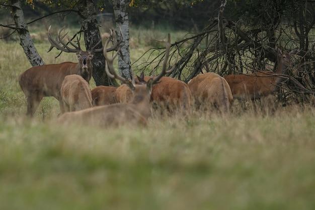 Jeleń szlachetny w naturalnym środowisku podczas rykowiska