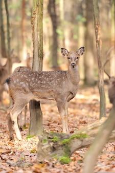 Jeleń w lesie jesienią