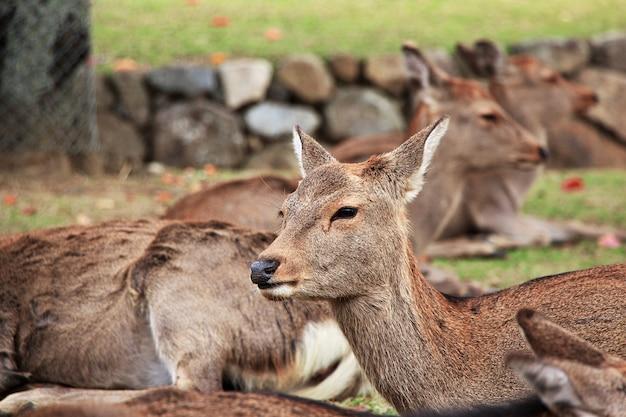 Jeleń w nara park, japonia