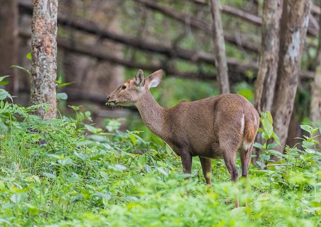Jeleń w naturze