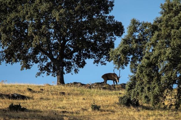 Jeleń w parku narodowym monfrague, estremadura, hiszpania