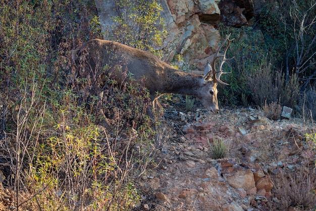 Jeleń w parku narodowym monfrague w hiszpanii