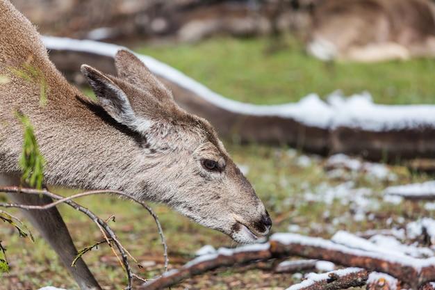Jeleń w zielonym lesie, usa