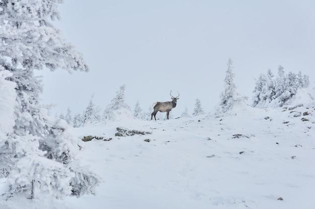 Jeleń w zimowym śnieżnym górskim lesie