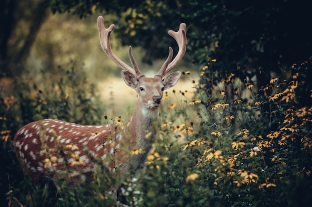 Jeleń whitetail stojący w jesiennym drewnie