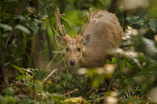 Jeleń wieprzowy w lesie parku narodowego kaziranga w assam