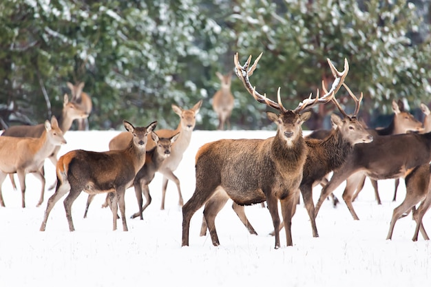 Jeleń z dużymi rogami ze śniegiem na pierwszym planie,