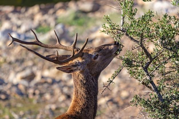 Jelenie jedzenia w parku narodowym monfrague. extremadura. hiszpania.