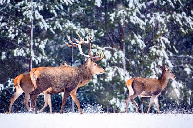 Jelenie przed zaśnieżonym lasem.