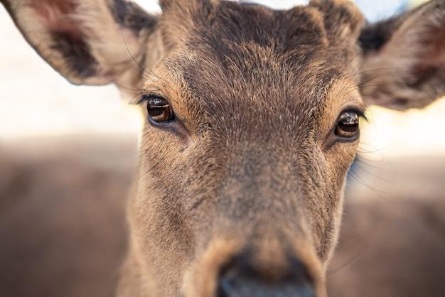 Jelenie sika żyją na wolności w japońskim parku nara. młody dziki nippon cervus w okresie wiosennym. atrakcja turystyczna japonii. parki przyrodnicze świata.